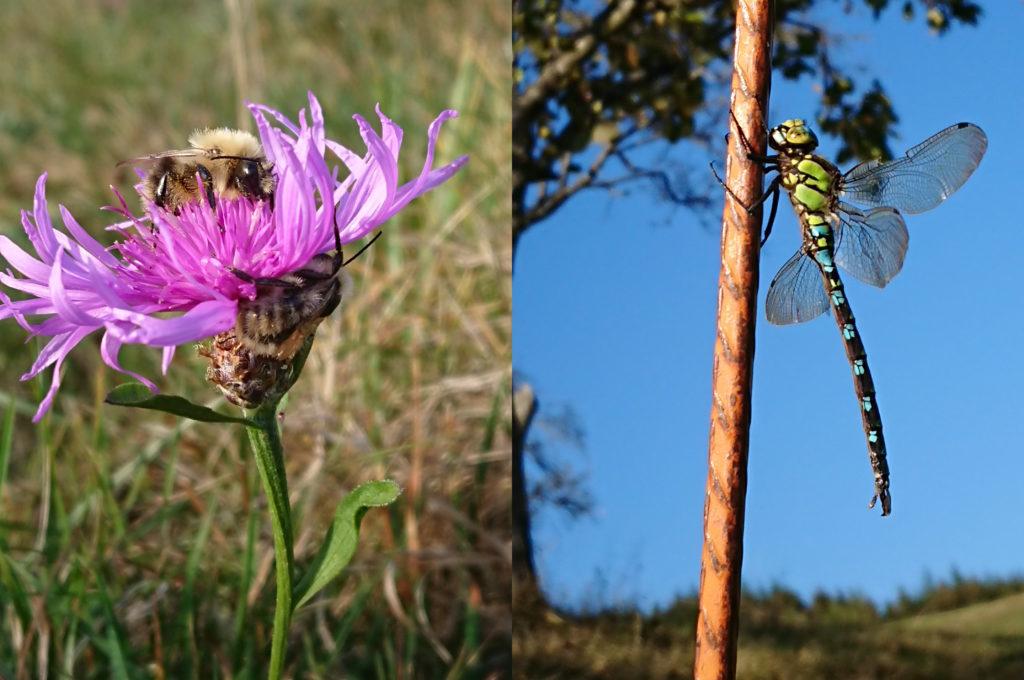 Im linken Teil des zweigeteilten Bildes befindet sich eine Blüte mit zwei Hummeln, im rechten Teil eine Libelle, die sich an eine Eisenstange klammert.